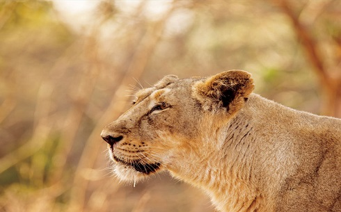 Asiatic Lion Gir Forest National Park