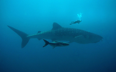 Bush-Luxury-Whale-Sharks-PNG_490x305-2