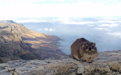 Table Mountain Dassie